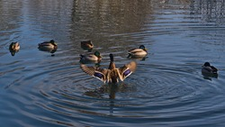 Group of dabbling mallard ducks (anas platyrhynchos) swimming in pond of a park in Sigmaringen, Germany with one duck spreading wings (blurred motion) with beautiful violet feathers.