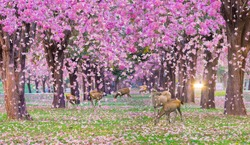 Group of deer at the pink trumpet tree flower tunnel, romantic pink flower falling tunnel.