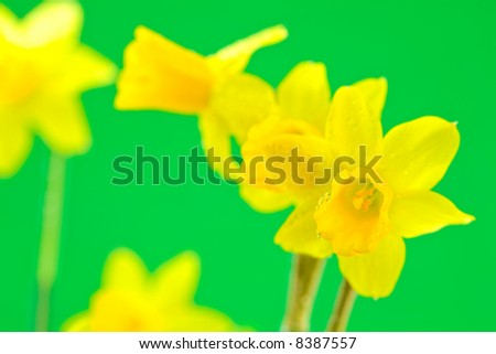 Group of Dewy Daffodils on Green Background