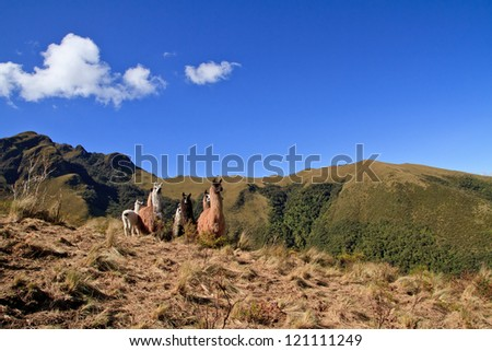 Group of different colored alpacas on a field - stock photo