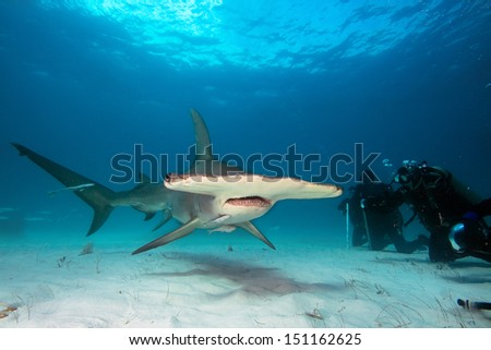 Group of divers observe Great Hammerhead shark #151162625