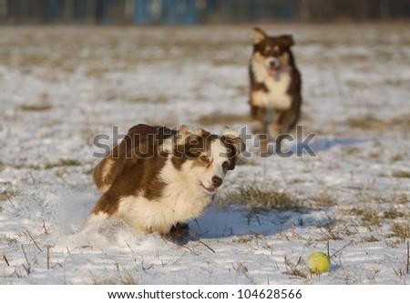 group of dogs chases tennis ball in the snow
