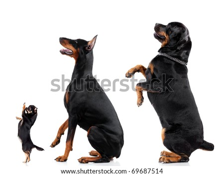 Group of dogs (Chihuahua, Doberman, Rottweiler) isolated on white background, studio shot.