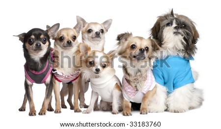 Group of dogs dressed-up : 5 chihuahuas and a  Shih Tzu in front of a white background - stock photo