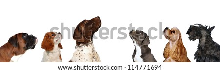 Group of Dogs look up, six different dog breeds together  headshots on isolated white background.
