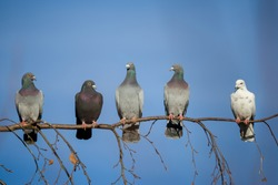 group of domestic pigeons sitting on the branch agains blue sky