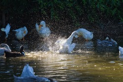 group of domestic white farm geese swim and splash water drops in dirty muddy water, enjoy first warm sun rays, peace and tranquillity of nature, pure ecology farming concept
