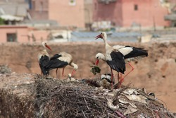 Group of domestic wild white storks (Ciconiidae) with beautiful feather plumage feeding little bird baby and building a wooden nest on top of El Badi Palace in Medina of Marrakech, Morocco, Africa.