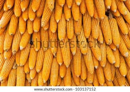 Group of dry corn