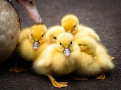 Group of 5 ducklings of a muscovy duck on Sao Jorge island on the Azores, Portugal. Easter concept.