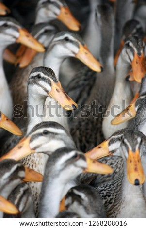 Group of Ducks #1268208016
