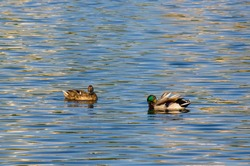 group of ducks in the water of the city pond