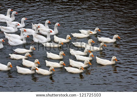 Group of ducks on lake water