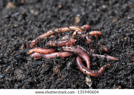 Group of earthworms.