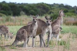 Group of Eastern Grey Gray Kangaroo Macropus giganteus