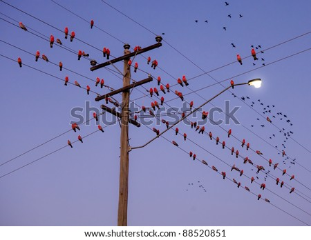 Group of Eclectus Parrots sitting on power pole #88520851