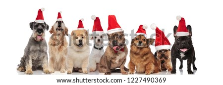 group of eight cute santa dogs of different breeds sitting and standing on white background