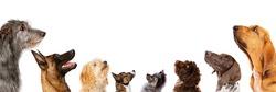 group of eight dogs looking up, portrait in profile.isolated on a white background