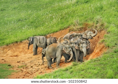 Group of elephant eat Salt marsh  in national park