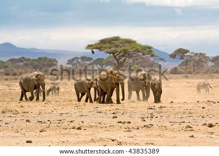 Group of elephants, Amboseli, Kenya.