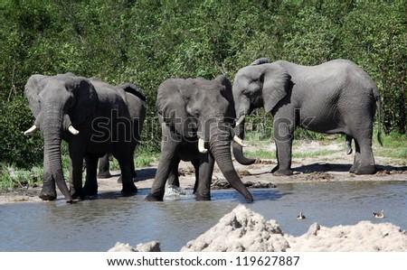 Group of elephants, Botswana