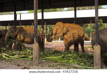 Group of elephants eating at fence in Pinnawela Elephant orphanage