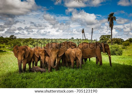 Group of elephants under baobab tree in Tarangire National Park  #705123190