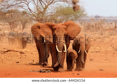 Group of elephants walking
