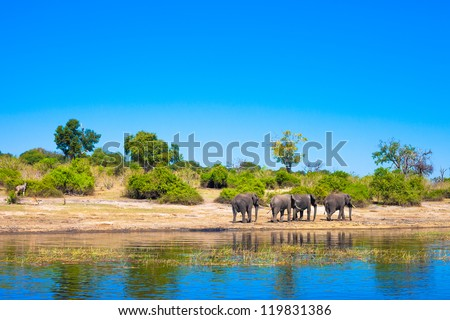 Group of elephants walking along a river