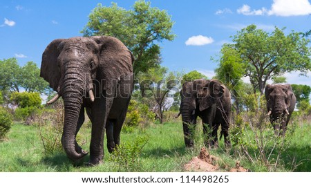 Group of elephants walking through the wilderness - stock photo