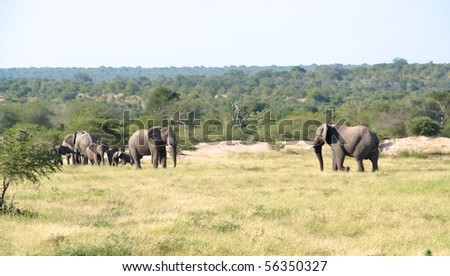 Group of elephants, with one elephant walking towards the others.