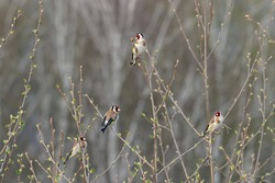 Group of european goldfinches carduelis carduelis eating buds on tree in early spring. Cute little colorful songbirds in wildlife