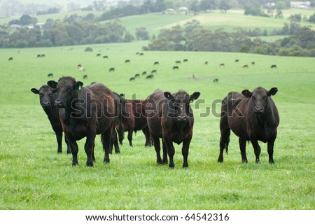 Group of farm cattle with cattle and fields background