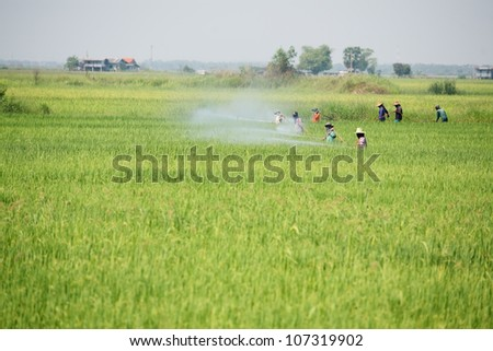 group of farmer spraying pesticide in paddy field