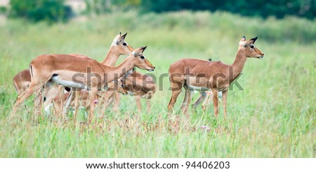 Group of female impala looking towards a possible threat