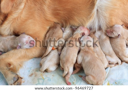 group of first day golden retriever puppies natural shot