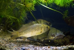 group of fish, greedy freshwater predator channel catfish, prussian carp and common perch rest in European temperate cold-water river biotope aquarium, sand substrate and live plants