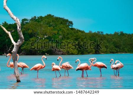 Group of Flamingos Celestún/Merida -Yucatán, Mexico