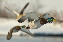 Group of flying Mallards