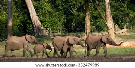 Group of forest elephants in the forest edge. Republic of Congo. Dzanga-Sangha Special Reserve. Central African Republic. An excellent illustration. Сток-фото ©