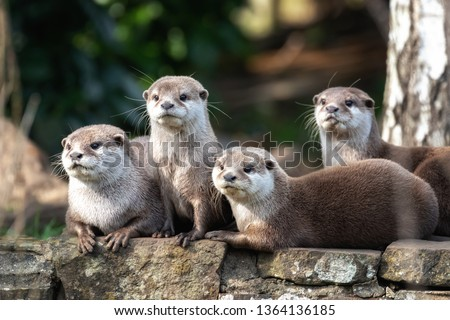 Group of four attentive Oriental small-clawed otters