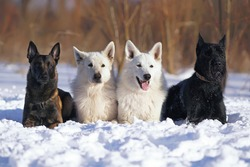 Group of four obedient dogs (two White Swiss Shepherds, Belgian Malinois and black Giant Schnauzer) lying down on a snow in winter