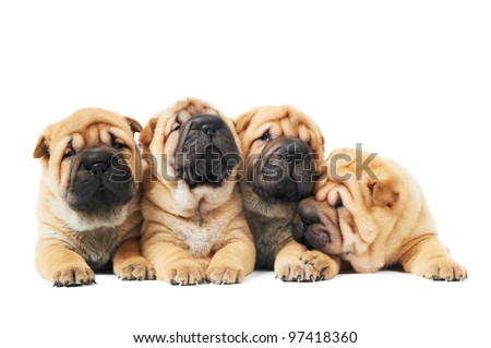 group of four purebred beige sharpei puppy dogs over white