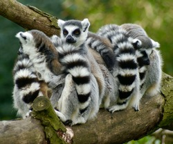 Group of four ring tailed lemurs (Lemur Catta).  Socializing on a thick trench with one facing forward (close-up)