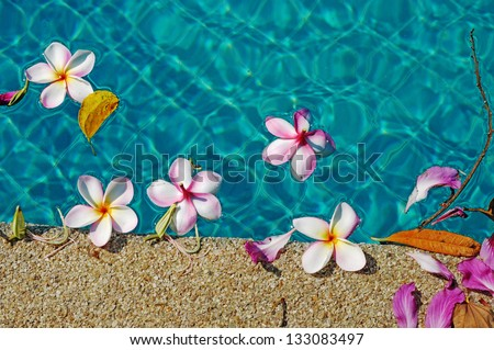 group of Frangipani flowers blooming in swimming pool