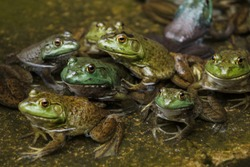 Group of frogs rest in a pool