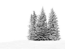 Group of frosty spruce trees in snow isolated on white