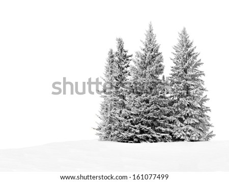 group of frosty spruce trees in ...