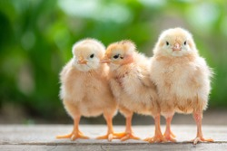 Group of funny baby chicks on the farm