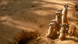 Group of funny meerkats (surikate) in the zoo.